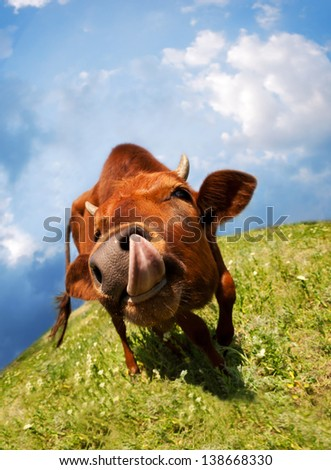 Licked oneself cow funny portrait at the green meadow - stock photo