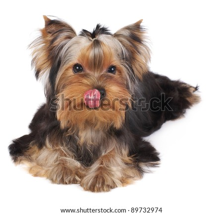 Licking puppy of the Yorkshire Terrier isolated on white