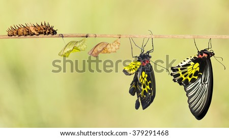 Life cycle of common birdwing butterfly from caterpillar - stock photo