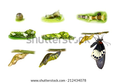 Life cycle of great mormon butterfly - stock photo