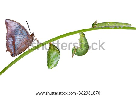 Life cycle of Tawny Rajah butterfly with caterpillar and larva - stock photo