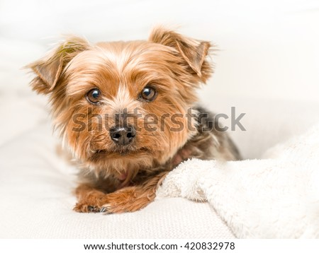 lifestyle portrait of a yorkie
