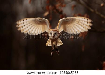 stock-photo-light-barn-owl-is-flying-fro
