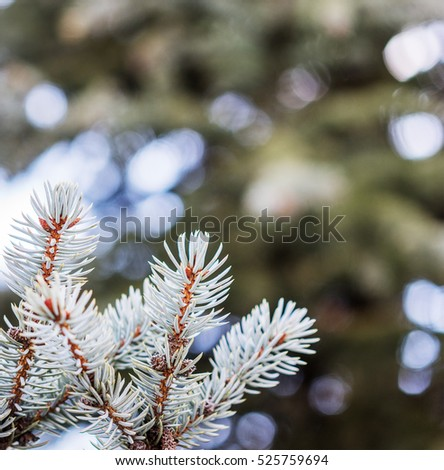 light blue branches of slender young fur-tree