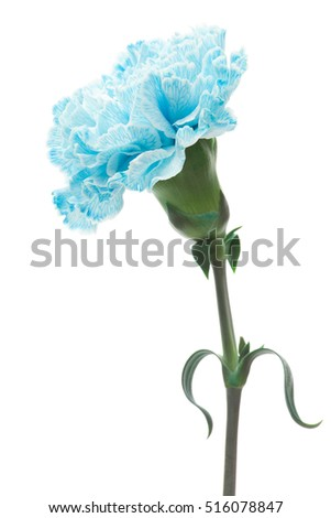 Light blue carnation and ribbon isolated on white background