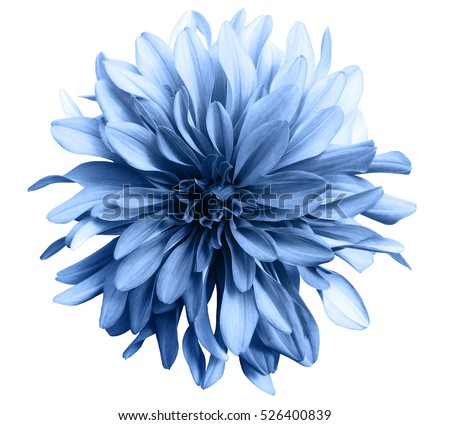 Light blue flower on white background stock photo royalty free light blue flower on a white background isolated with clipping path closeup big shaggy mightylinksfo Images