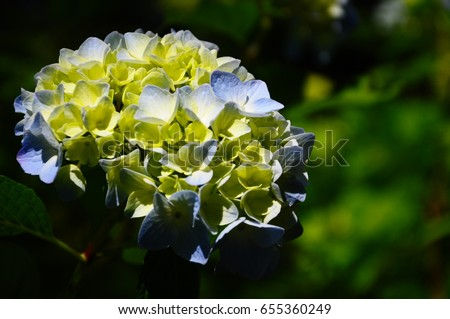 https://thumb1.shutterstock.com/display_pic_with_logo/167494286/655360249/stock-photo-light-blue-hydrangea-in-june-655360249.jpg
