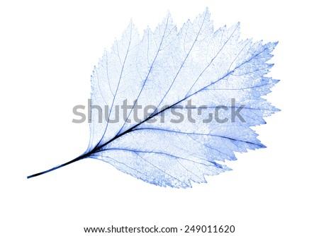 light blue leaf skeleton isolated on white background - stock photo