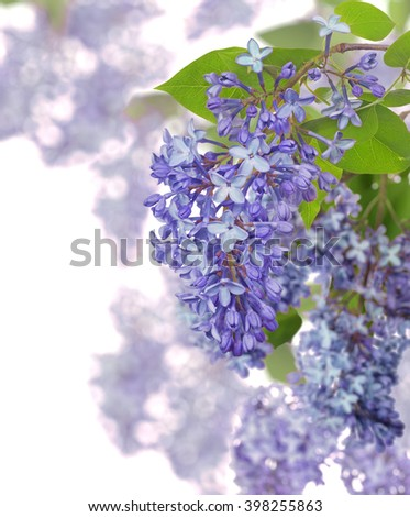 light blue lilac flowers isolated on white background