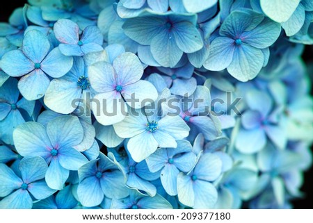 Light blue white wild Hydrangea in full bloom (Scientific name: Hydrangea macrophylla)