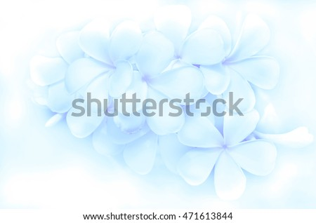 Light blur background of Plumeria or Frangipani flowers in soft blue tone