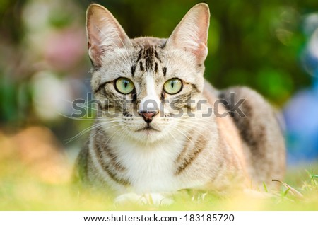 Light brown and cream tabby cat. Staring carefully - stock photo