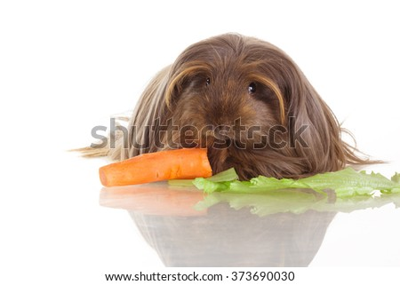 light brown and gold long-haired coronet guinea pig on white isolated background with carrot and salad