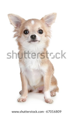 Light-brown chihuahua puppy sitting on a white background - stock photo