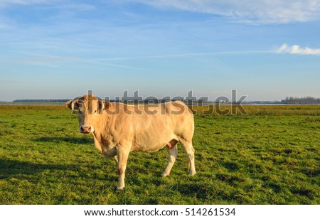 Light brown cow with horns standing in a Dutch nature reserve in low evening sunlight on a nice day in the autumn season. The cow is curiously looking at the photographer.
