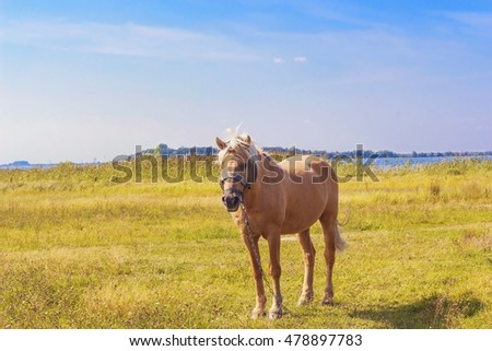 Light brown horse with white mane stands on meadow near blue lake. Palomino horse in field on summer warm day