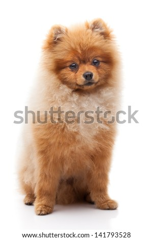 Light brown shpitz puppy sitting over white background and looking at camera