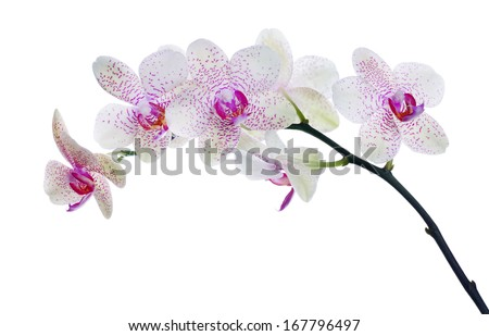 light color orchid flowers in pink spots isolated on white background