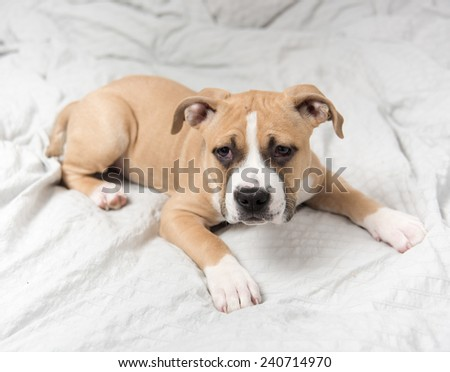Light Fawn Colored Bulldog Mix Puppy on Gray Bed - stock photo