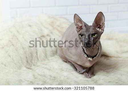 Light gray horizontal background with Donsphinx cat in diamonds collar - stock photo