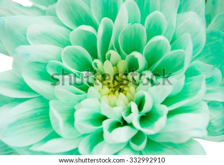 light green chrysanthemum on a white background