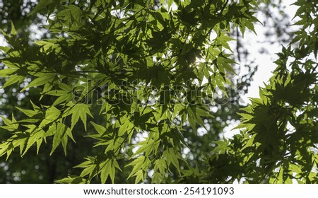 Light Passing Through Leaves