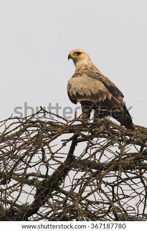 Light phase Tawny Eagle with cloudy sky background perched on tree in Serengeti National Park - stock photo