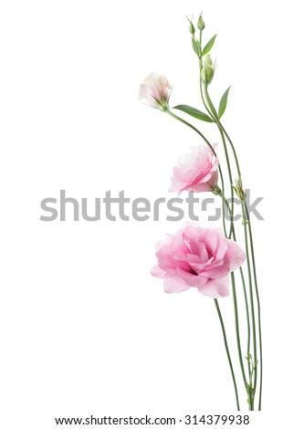 Light pink flowers  isolated on white. Eustoma - stock photo