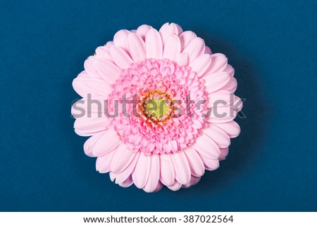 Light pink gerbera daisy, high angle view, on blue background.