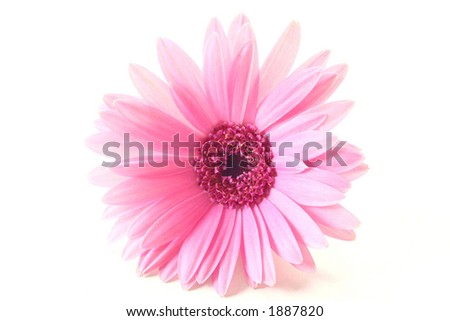 Light Pink Gerbera on White Background
