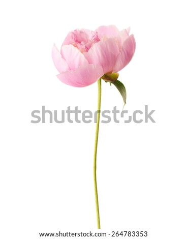 Light pink peony isolated on white background.