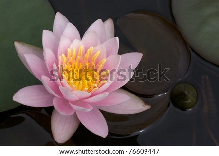 Light pink waterlily in a pond
