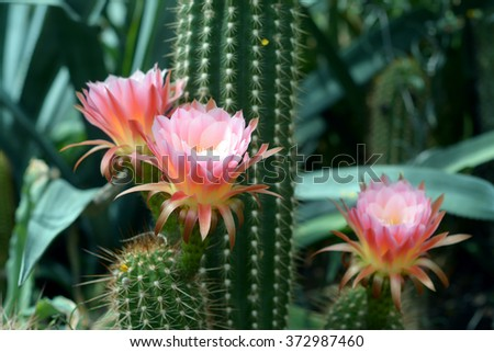 light purple flower of cactus in desert - stock photo