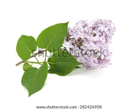 Light purple lilac flowers (Syringa vulgaris) on white background - stock photo