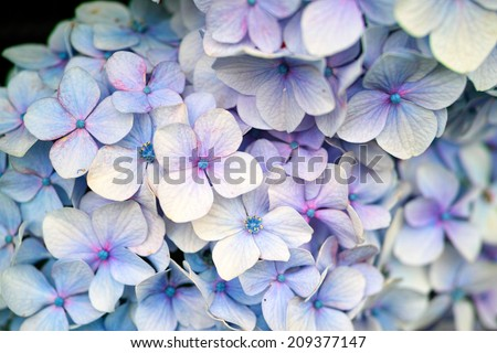Light purple or pale violet color wild Hydrangea in full bloom (Scientific name: Hydrangea macrophylla)