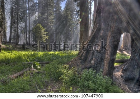 Light rays in the Giant Forest at Sequoia National Park - stock photo
