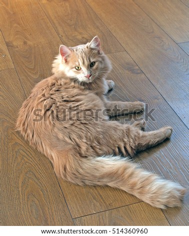 Light red color cat with long hairs laying on laminate floor looking in eyes.