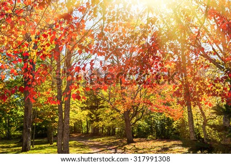 Light streaming through autumn foliage of red maples. - stock photo