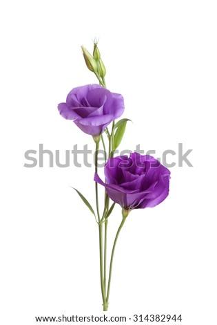 Light violet  flowers isolated on white. eustoma - stock photo