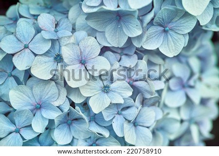 Light whitish blue violet color wild Hydrangea in full bloom (Scientific name: Hydrangea macrophylla)