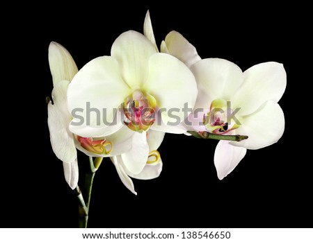 light yellow orchid flowers isolated on black background