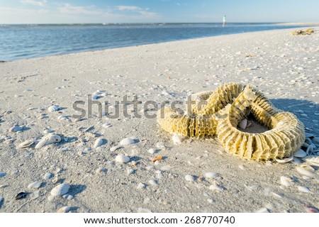 Lighting Whelk Egg Case on the Beach - stock photo