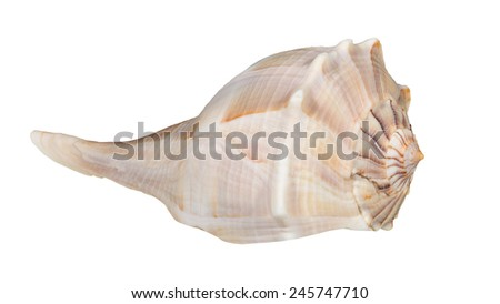 Lightning Whelk, Busycon contrarium, isolated - stock photo