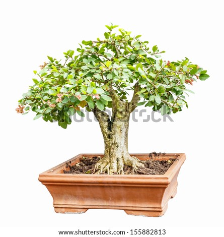 ligustrum (Privet) tree as bonsai isolated on white background
