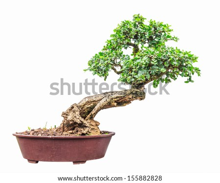 ligustrum (Privet) tree as bonsai isolated on white background - stock photo