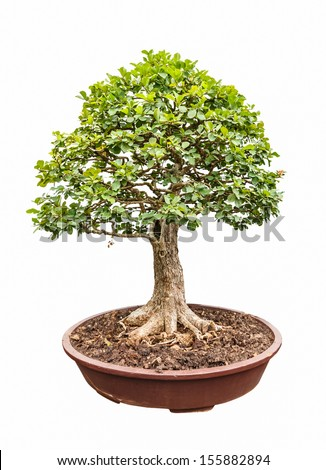 ligustrum (privet) tree as bonsai isolated on white background - stock photo