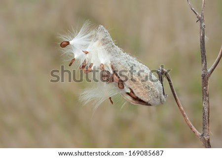 Like fireworks exploding in the night sky, a milkweed pod explodes on the open prairie. Soft feathery seeds float away with hope of creating new flowers in the grassland.