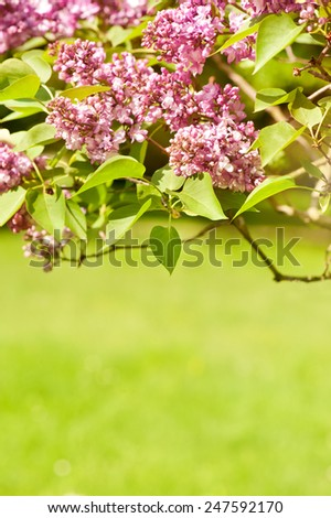 Lilac bloom vibrant pink shrub and green foliage bright colors in sunlight, syringa vulgaris in early spring season, beautiful flowers in sunny day, calm nature detail, vertical orientation, nobody. - stock photo