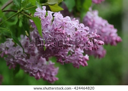 Lilac blooms. A beautiful bunch of lilac closeup. Lilac bush bloom. Lilac flowers in the garden - stock photo