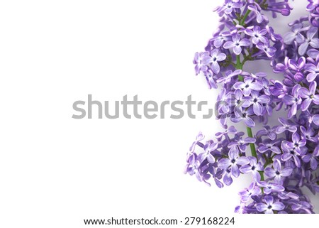 Lilac blossom isolated on white background with empty space for greeting message. Mother's Day and spring background concept. - stock photo